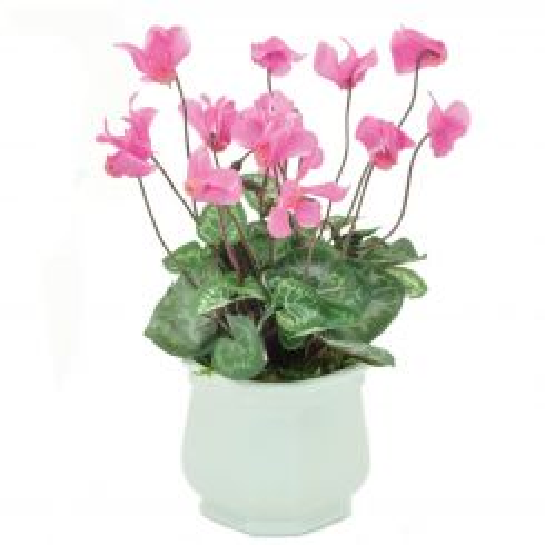 Pavilion Flowers Artificial Cyclamen in Ceramic Pot Dark Pink Height 27cm
