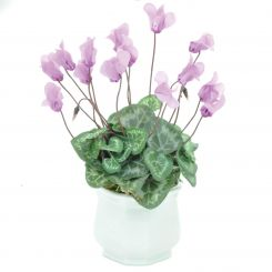 Pavilion Flowers Artificial Cyclamen in Ceramic Pot Pink Height 27cm