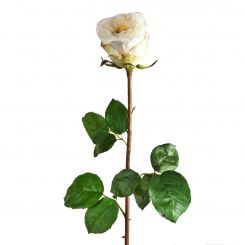 SIA English Rose Bud White Height 72cm